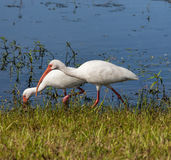 Two American White Ibis Royalty Free Stock Photography