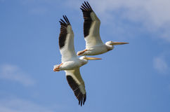 Two American White Pelicans Flying in a Blue Sky Royalty Free Stock Photography