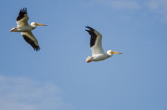 Two American White Pelicans Flying in a Blue Sky. Two American White Pelicans Flying in a Cloudy Blue Sky Stock Image