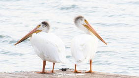 Two American White Pelicans & x28;Pelecanus erythrorhynchos& x29; Stand on A Dock on a Small Lake. Two American White Pelicans & x28;Pelecanus Stock Photos