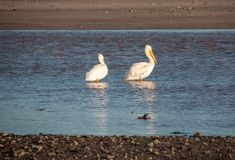 Two American White Pelicans in the Santa Clara river at McGrath State Park on the Pacific coast at Ventura California United. States royalty free stock photography