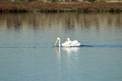 Two American white pelicans swimming in the Bolsa Chica Wetlands in California. Two American white pelicans swimming in the Bolsa Chica Wetlands in Southern Royalty Free Stock Photo