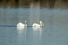 Two American white pelicans swimming in the Wetlands. Two American white pelicans swimming in the Bolsa Chica Wetlands in Orange County California Stock Images