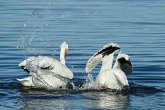 Two American white pelicans swimming and splashing in the water. In the Bolsa Chica Wetlands in Orange County California Stock Images