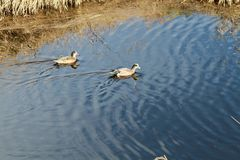 Two american widgeon ducks swimming in a pond. On a sunny day Stock Photo