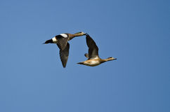 Two American Wigeons Flying in a Blue Sky Stock Photo