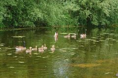 Two close-knit families of wild geese stock photos