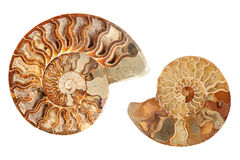 Two ammonites. Two beautiful ammonites isolated on white background Royalty Free Stock Photos