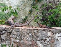 Two amphibious Iguana. Sitting on a wall in Mexico warming them selves o a very warm afternoon royalty free stock images