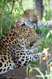 Two Amur Leopards Royalty Free Stock Images