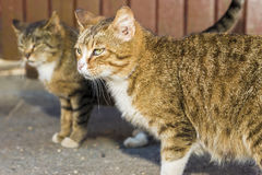 Two Amusing striped street cats Royalty Free Stock Photography
