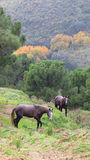 Two wild Andalucian horses, grazing in the autumnal countryside. Royalty Free Stock Images