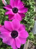 Two Anemone blanda Stock Photography