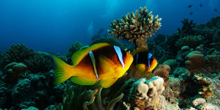 Two anemone clown fish near the table coral. In Hurghada stock image