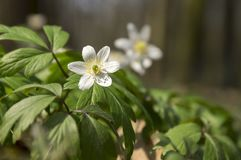 Two anemone nemorosa spring flowers, wood anemones in bloom Stock Image