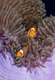 Two Anemonefish Stock Photography
