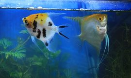 Two Angel fish. In freshwater aquarium Royalty Free Stock Images