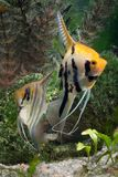 Two Angelfish. In a tropical fish tank royalty free stock image