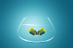 Two Angelfish falling in love. Two Angelfish in fishbowl falling in love, lose one's heart Stock Photography