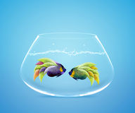 Two Angelfish in fishbowl falling in love. Lose one's heart Royalty Free Stock Photo