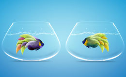 Two Angelfish in Two bowls Stock Photography