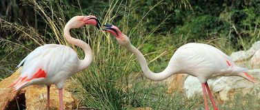 Two angry flamingos. Fighting on park stock image