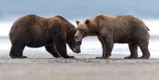 Two angry grizzly bears consider starting a fight. royalty free stock photo