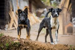 Two angry guard dogs. Staring at the camera royalty free stock photos