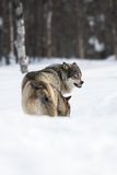 Two angry wolves in the Snow. Wolf in a norwegian winter forest. Snowing Royalty Free Stock Photo