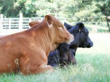 Free Two Angus Beef Cattle And Calf Lying In Shade Royalty Free Stock Image - 168539206