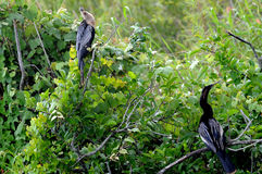 Two Anhinga. Two Everglades Anhinga sit in lush green tree stock photo