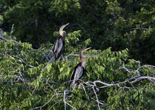 Two Anhinga females in a treetop Stock Photos