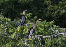 Two Anhinga females in a treetop Stock Photo