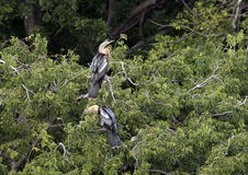 Two Anhinga females in a treetop Royalty Free Stock Photography