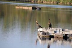 Two Anhinga on a Raft Stock Photography