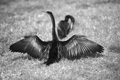 Two Anhingas birds in spring love dance Stock Photos