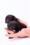 Two animal mink Royalty Free Stock Photo
