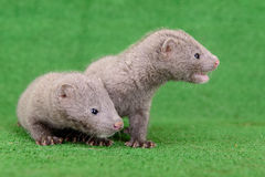 Two animal mink Stock Images