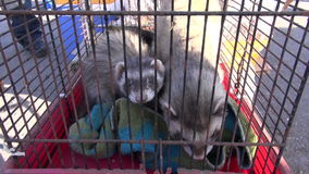 Two animal (Mustela putorius) Ferrets in cage stock footage