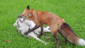 Two animal young foxes fight on the green grass in park stock video