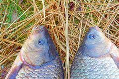 Two animals carp fishing catch on the grass. Royalty Free Stock Image