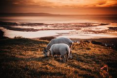Two Animals on Field during Sunset royalty free stock image