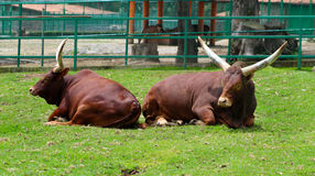 Two ankole watusi Stock Images