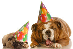 Two annoyed birthday dogs stock image