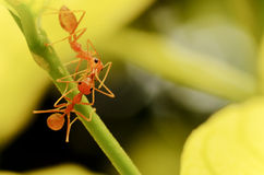 Two ant worker Royalty Free Stock Images