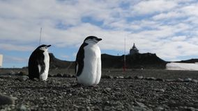 Two Antarctic penguins stand on the beach from pebbles. Andreev. Two Antarctic penguins stand on the beach from pebbles. Penguins look in one direction stock footage