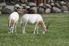 Two antelopes Stock Image