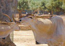 Two antelopes Stock Photos