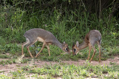 Two antelopes dik-dik Stock Images