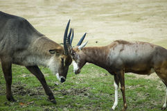 Two antelopes fighting. A couple of male antelopes fighitng or playing Stock Photos